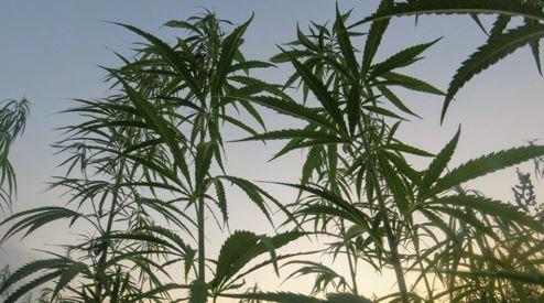 What makes Aurora Cannabis (ACB) an attractive stock?